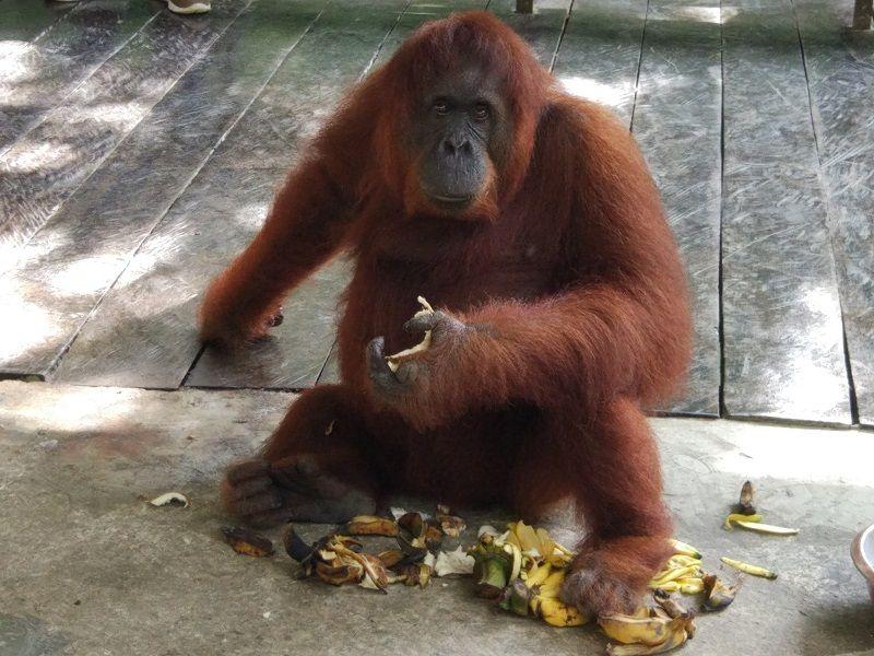 Orang outan mangeant des fruits