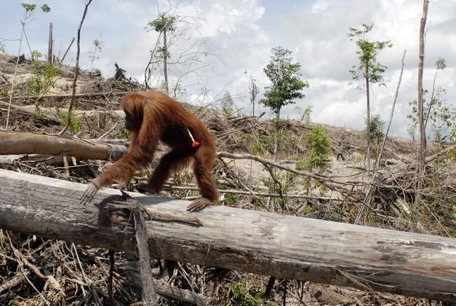 Orang outan ayant reçu une flèche fuyant sa forêt détruite