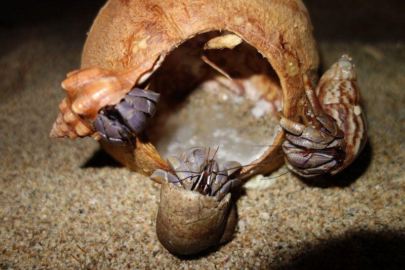 3 bernard l'hermites voulant rentrer dans une noix de coco vide, Ko Lanta, Thaïlande