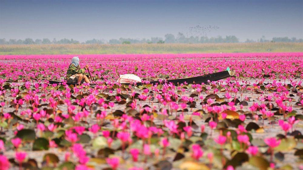 Lac aux lotus, Udon Thani, Thaïlande