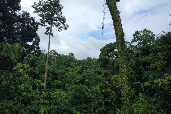 vue sur la canopé à Sepilok Borneo