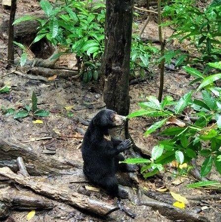 sun bear de Borneo, Sepilok