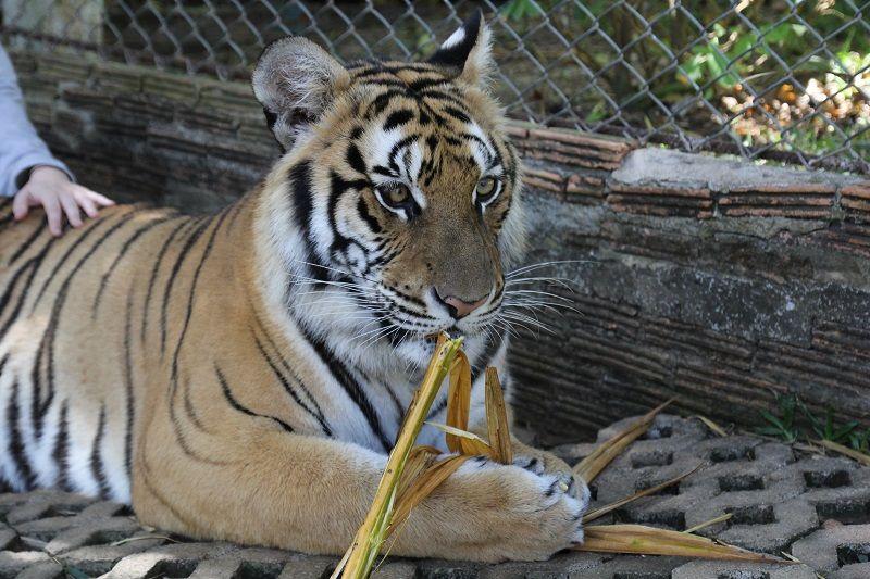 tigre dans un enclos au Tiger Kingdom à Chiang Mai, ThaÏlande