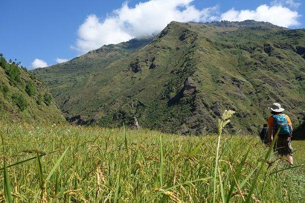 Champ de riz dans la vallée de Chilime, Népal