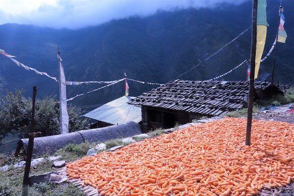 Epis de maïs sèchant au sol à Tatopani, Népal