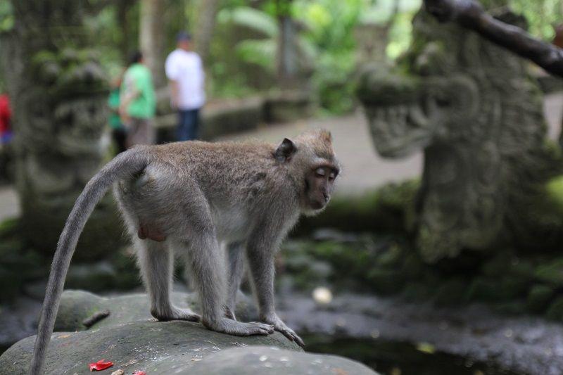 singe marchant à côté de statues, Bali, Indonésie